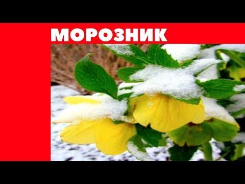Морозник ( Геллеборус ) посадка +размножение ! Красивый зимний цветок !