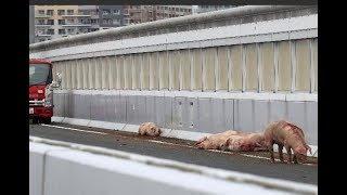 阪神高速上にブタ約20頭逃げ出す thumbnail