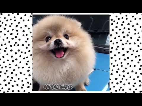 Шпицы / Самые смешные и милые видео с собаками / Подборка видео