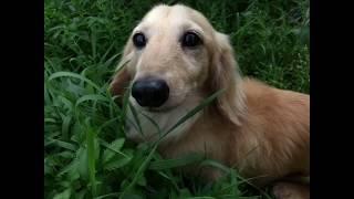 Первый день щенка таксы  в доме