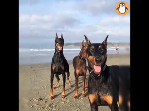 4 Doberman Lovers 🐱‍👤 Funny and Cute Doberman Dogs Videos Compilation