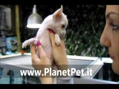 Chihuahua – www.PlanetPet.it