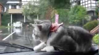 кот в машине пытается поймать дворники