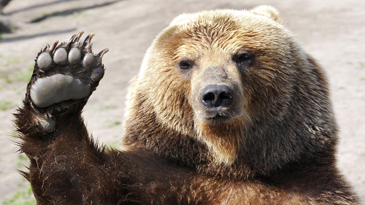Image result for bear angry