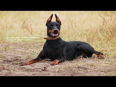The Magnificent Breed of Doberman (Documentary in HD!!!)