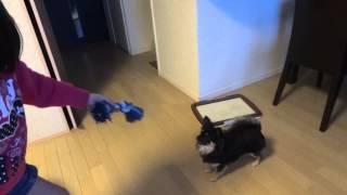 愛犬と遊んでみました ٩( ∂‿∂ )۶
