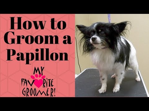 How to Groom a Papillon