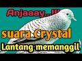 Masteran Suara Burung Perkutut Jenis Suara Crystal Nyaring Lantang Memanggil Kawanan  Mp3 - Mp4 Download
