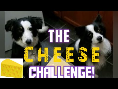 The Cheese Challenge (2 Dogs & 2 Cats!)