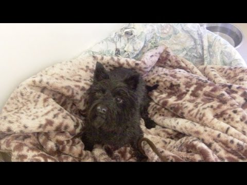 Cairn  Terrier Fergus after a bath before a blow dry.