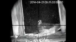 Air rifle pest control - feral pigeons - night vision