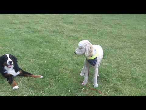 Syd Labradoodle meets Murphy Bernese Mountain Dog.
