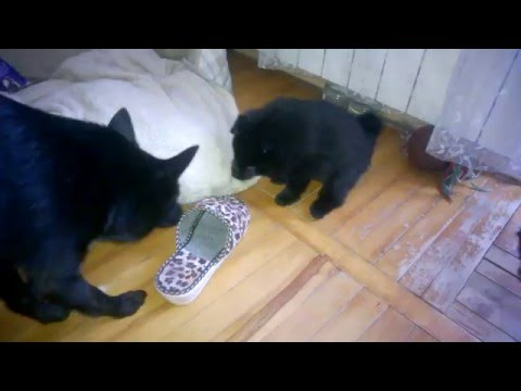 Schipperke puppy Aria Acappella & boy playing with mom