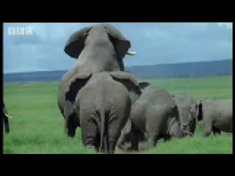 Elephant mating, fighting & pregnancy - Animals: The Inside Story - BBC