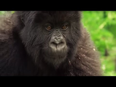 Family of Mountain Gorillas | Cousins | BBC