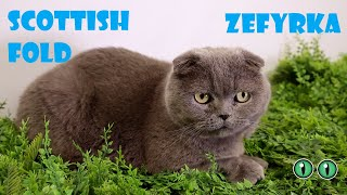 Cute Cat Scottish Fold Breed. Funny Video about Cats. Pets World