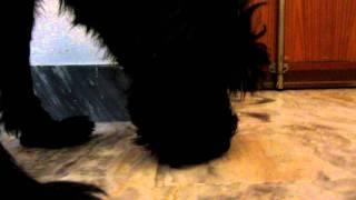 il mio cane (Cocchi-Joker) lecca il pavimento ahaha lol.
