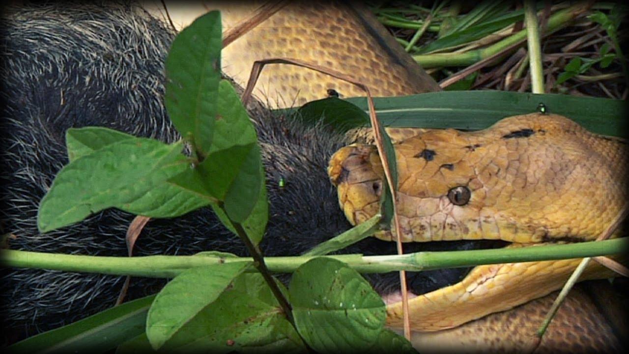 R Hogs Python kills Pig 04 - ...