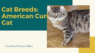 American Curl Slides  Cat Breeds