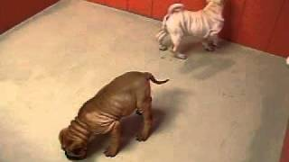 Shar Pei Puppies 19breeders