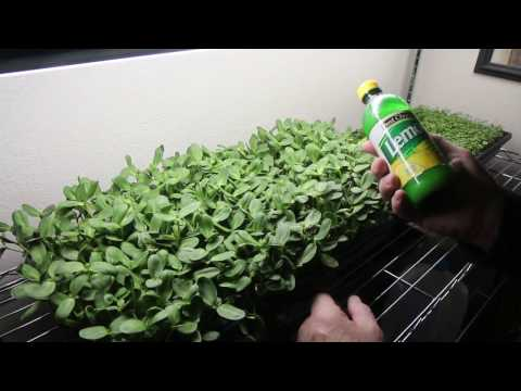 Microgreens Project Update