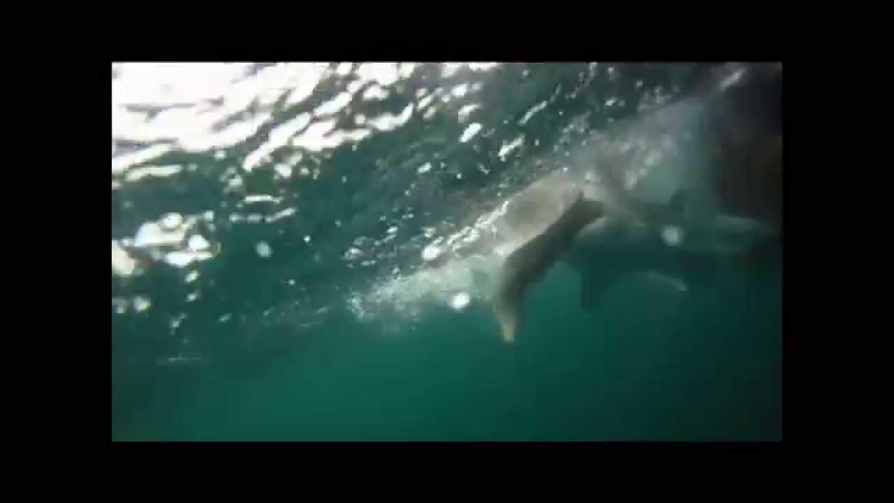 Shark fishing in montauk ny youtube for Montauk shark fishing