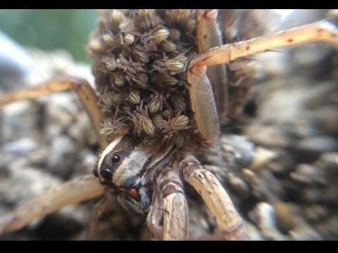 Hundreds of Spider