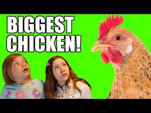 Chased By A Chicken: Biggest Chicken Ever! | Babyteeth More