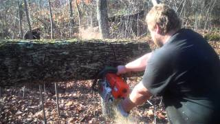 Stihl MS361 cutting hickory