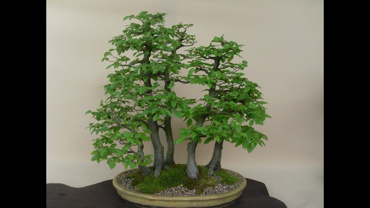 Hornbeam Bonsai Carpinus Sp Youtube