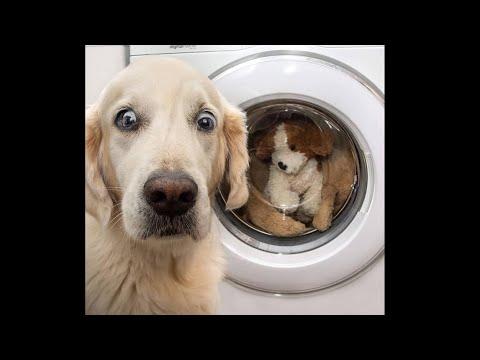 2020「おもしろ犬」かわいいシェパード犬の超おもしろいハプニング, 動画集 #12