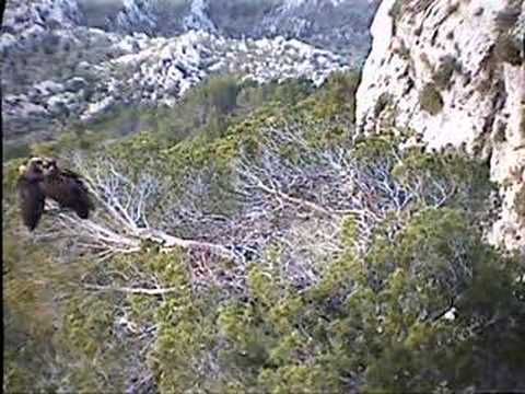 Black Vulture Nestcam #3: Together in the Nest