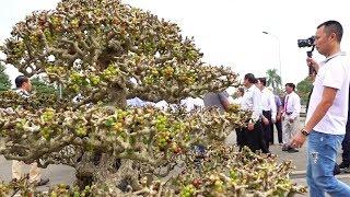 Vụ gì đây mà đông người vậy, chưa gặp cây nào siêu quả như cây này - Bonsai tree has many fruits