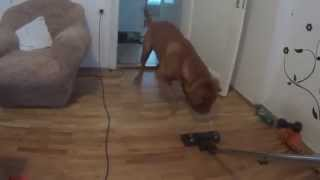 Dogue De Bordeaux Attacking The Vacuum Cleaner