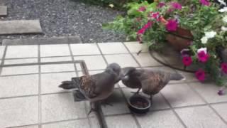 キジ鳩に子供誕生!