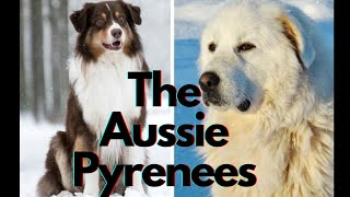 Meet The Endearing Great Pyrenees Australian Shepherd Mix!