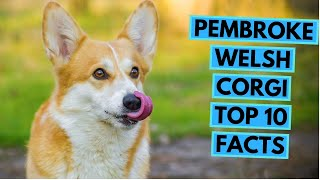 Pembroke Welsh Corgi  TOP 10 Interesting Facts