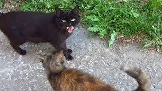 Ces chats ont toujours peur de moi et un chat noir siffle