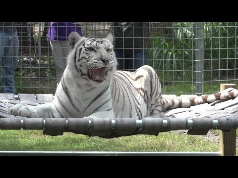 White Tiger Gets A New Bed