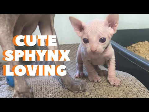 Cute sphynx cat compilation - Enjoy this adorable  sphynx cat compilation