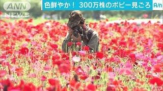 栃木県さくら市ではポピーの花が見頃となり、訪れる人たちの目を楽しま...