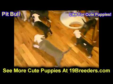 Pitbull Terrier, Puppies, For, Sale, In, Olathe, Kansas, County, KS, Fairfield, Litchfield, Middlese