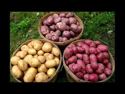 Вопрос: Какой посадить картофель для хорошего урожая?