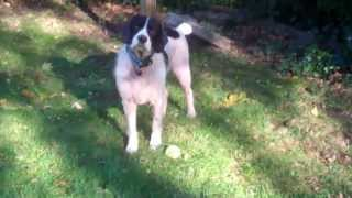 English Springer Spaniel - Maessr Presents: Willard (the Before)