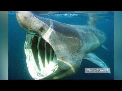 Cold keeps basking shark away in Cornish sea