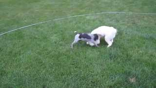 German Shorthaired Pointer Puppy & Bichon Frise Dog Playing