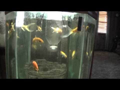Stop Goldfish Gulping Air During Feeding