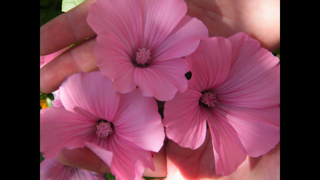 Лаватера цветок посадка уход