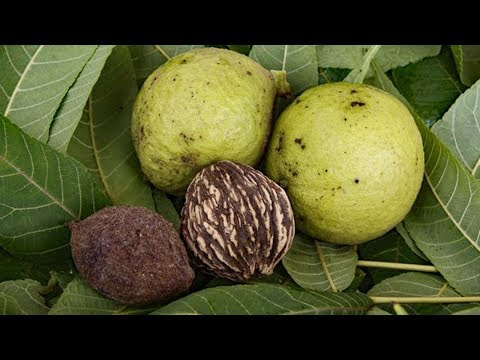 Black Walnuts -  Harvesting, Processing and recipes - Survival Food