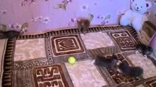 видео Курильский бобтейл - Как правильно кормить котят и кошек